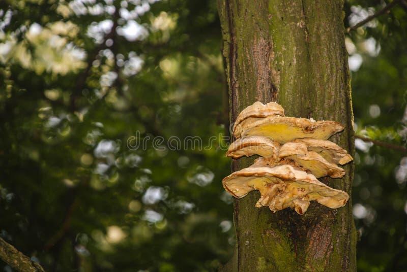 De gele oude natuurlijke boom van honingsplaatzwammen stock afbeelding