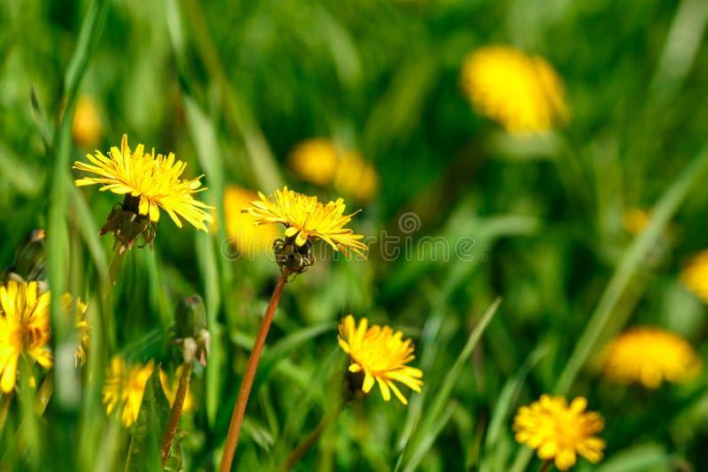 De gele paardebloem op groene grasachtergrond, springt Zonnige dag op stock foto
