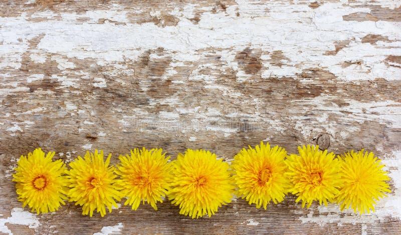 De gele paardebloembloemen voerden op een rij op een oude houten achtergrond met resten van witte kalk stock foto