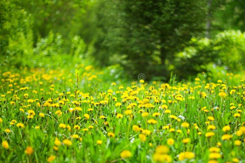 De gele paardebloemen bloeien in groen bos op zonnige dag op vage achtergrond, de open plek van het de lentehout met bloesem blow stock afbeelding