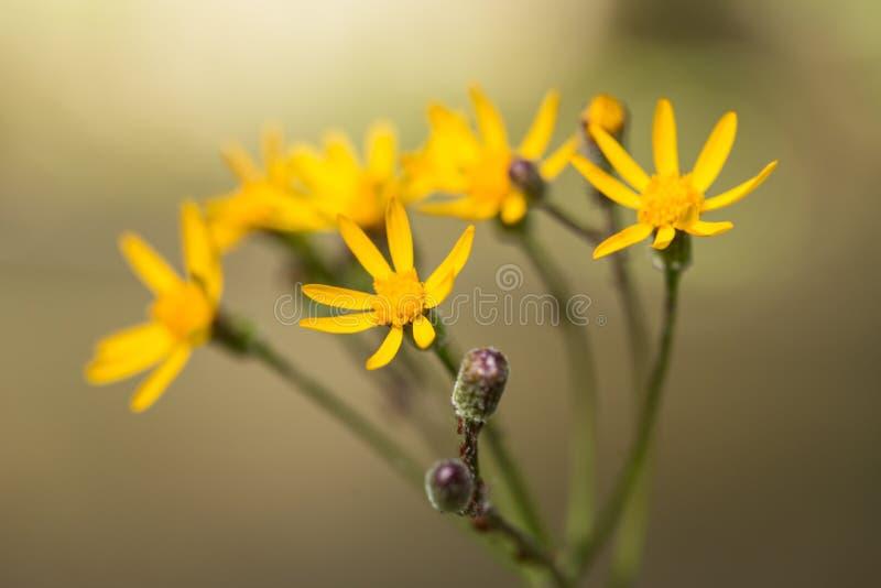 De gele Rokerige Bergen Tennessee van Ragwort Wildflower stock afbeelding