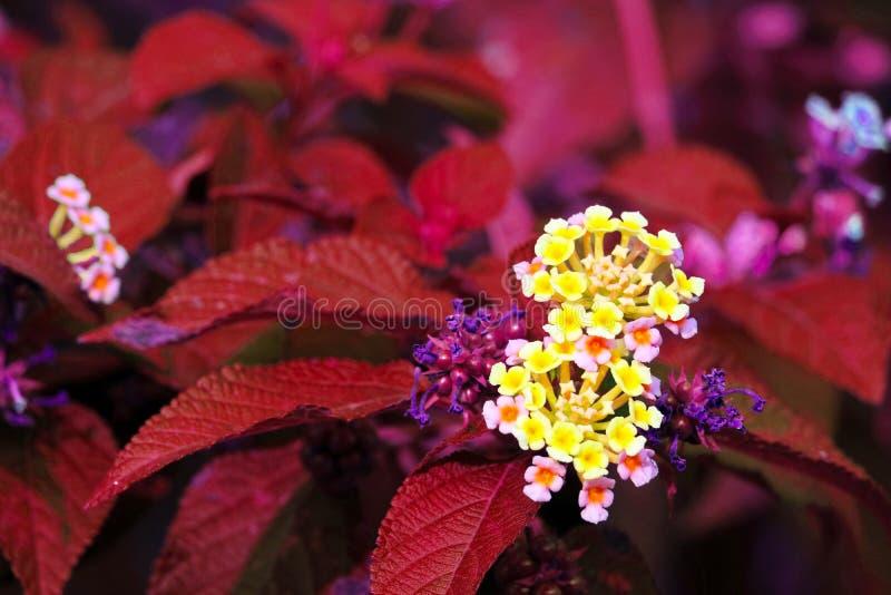 de gele roze bloem van lantanacamara in tuin bloeiende rode bladeren royalty-vrije stock foto's