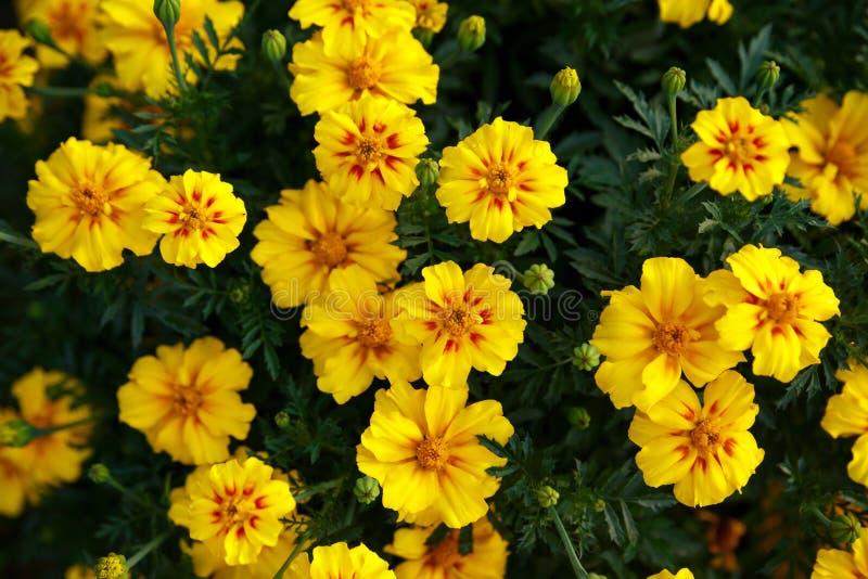 De gele saffraanbloemen op groene achtergrond sluiten omhoog royalty-vrije stock afbeelding