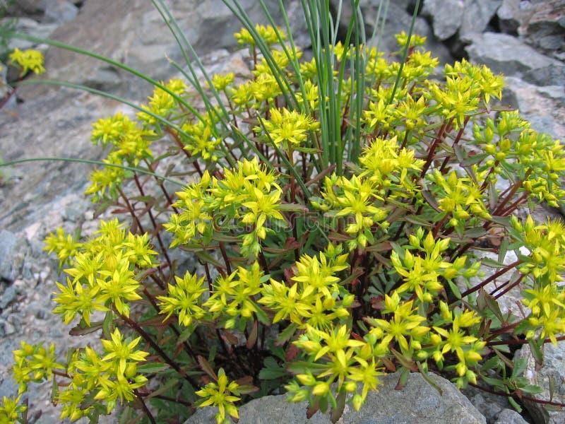 De gele scherpe bloemen met bloemblaadjes groeien in de rotsen van de berghellingen stock fotografie