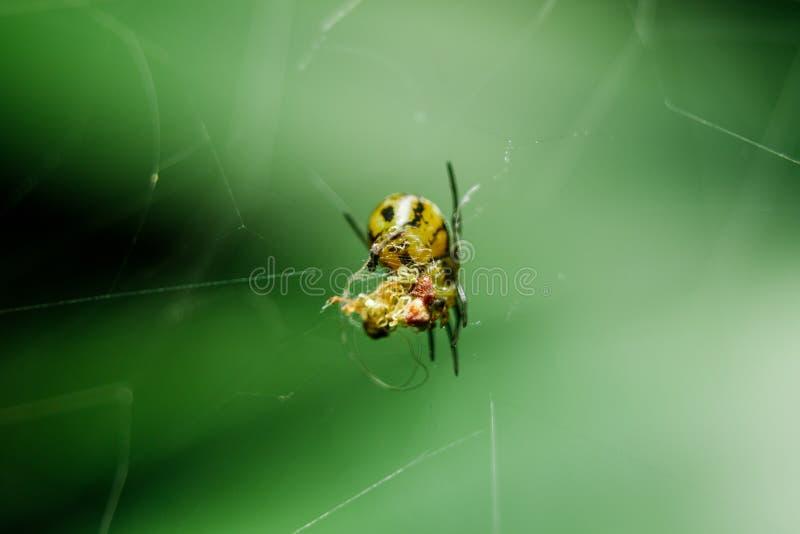 De gele spinnen zijn vlecht om prooi op te sluiten stock afbeeldingen