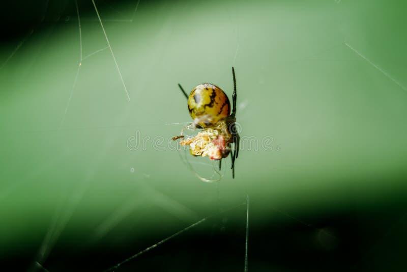 De gele spinnen zijn vlecht om prooi op te sluiten stock foto