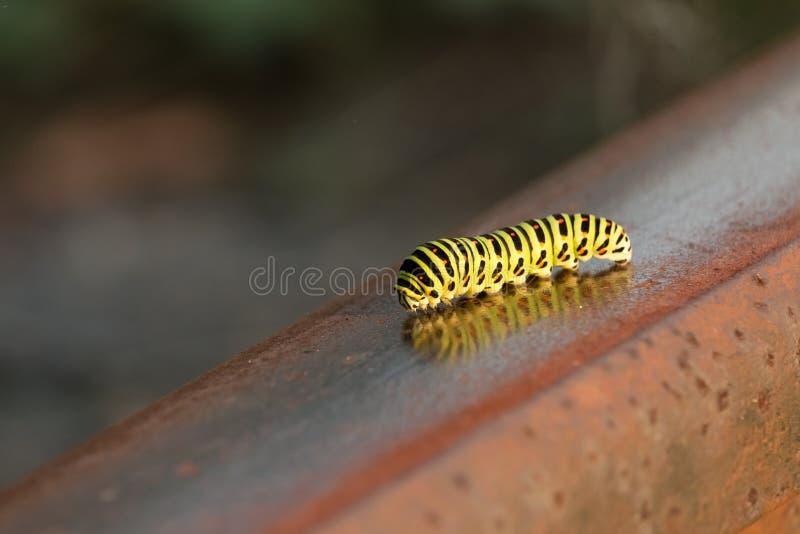 De gele swallowtailrupsband kruipt langs roestig spoor stock foto's
