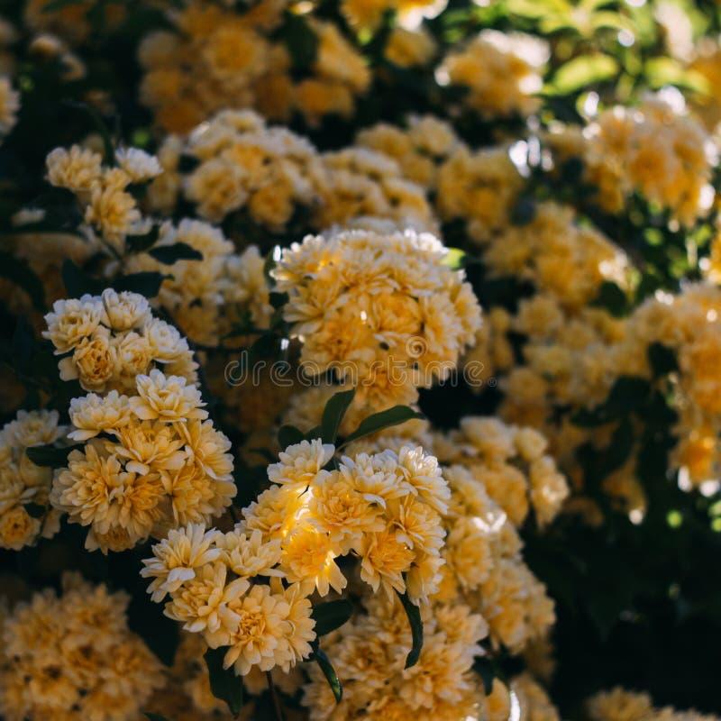 De gele tuin nam met kleine bloemen toe stock afbeelding