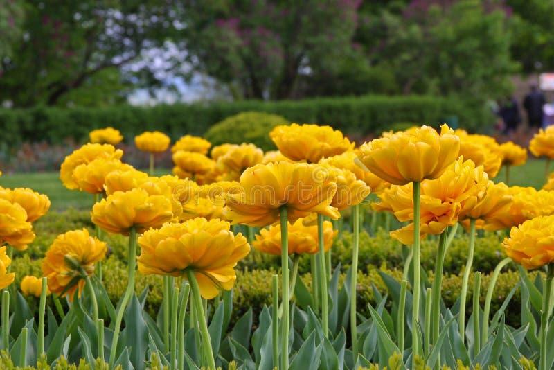 De gele tulpen zijn in een tuin tot bloei gekomen royalty-vrije stock foto's