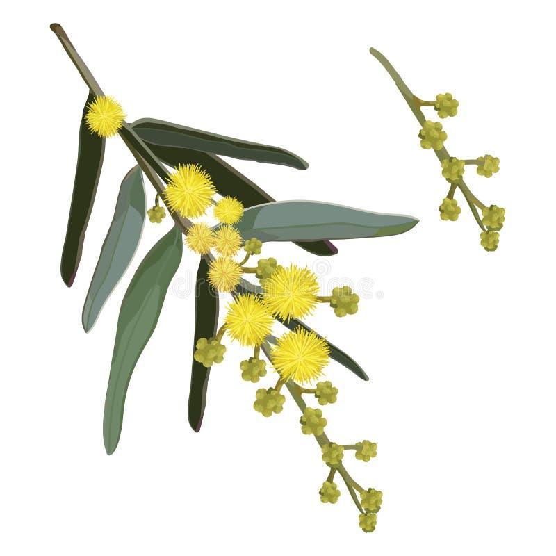 Download De Gele Vector Van De Acaciabloem Vector Illustratie - Illustratie bestaande uit bloei, naughty: 107707208
