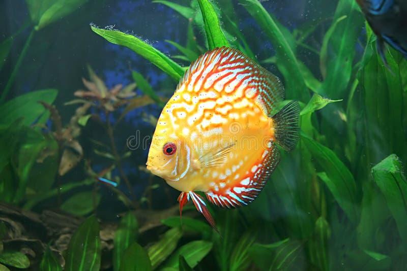 De gele vissen van de Discus in aquarium royalty-vrije stock fotografie