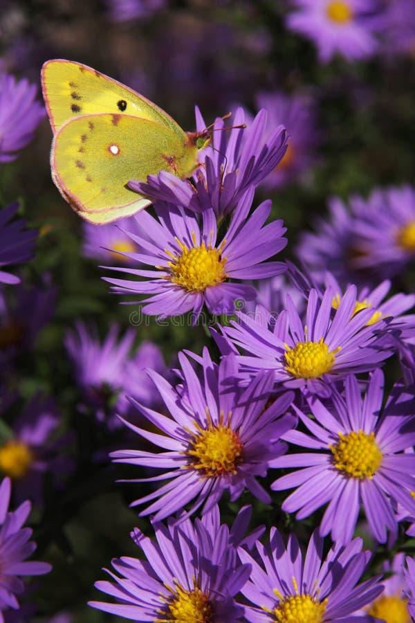 De gele vlinder op bloemen royalty-vrije stock afbeelding