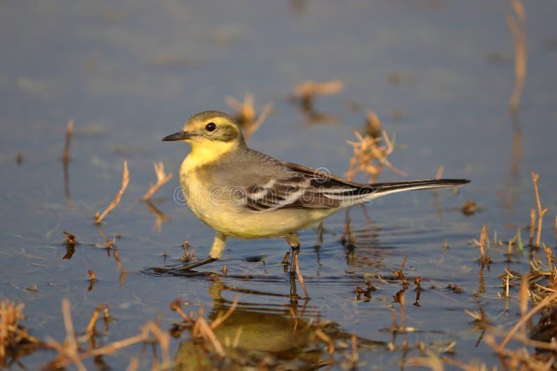 De gele Vogel van de Kwikstaart royalty-vrije stock foto