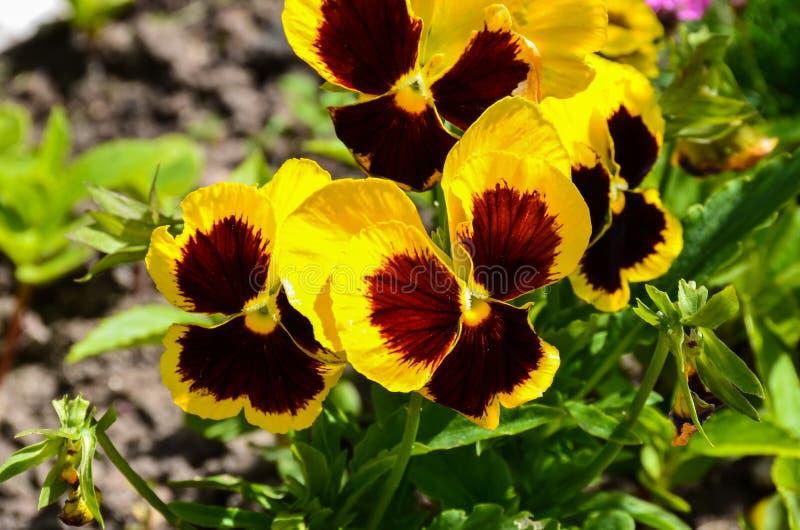 De gele winter pansies royalty-vrije stock afbeelding