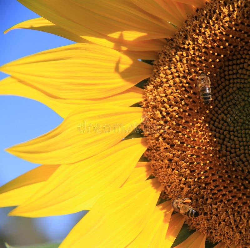 De gele Zonnebloem met twee bijen sluit omhoog royalty-vrije stock fotografie