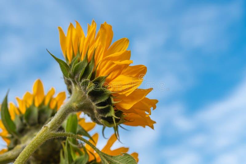 De gele Zonnebloemen sluiten omhoog met Mooie Bewolkte Hemelachtergrond royalty-vrije stock fotografie