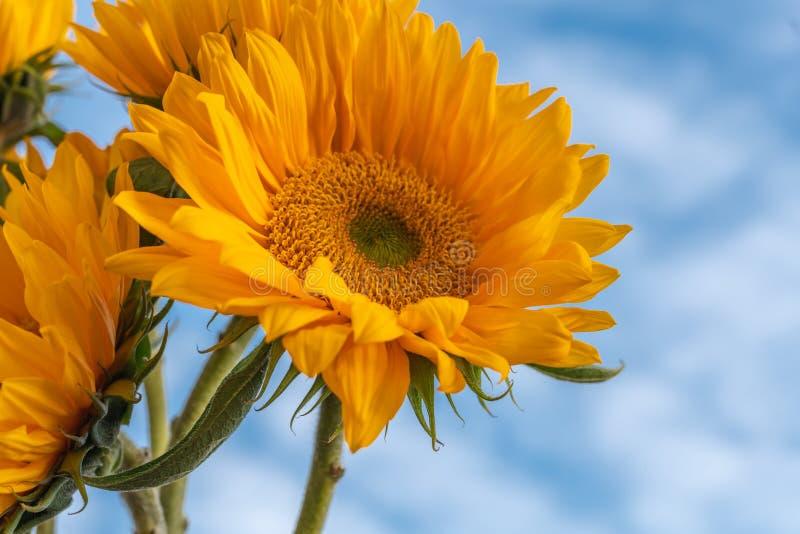 De gele Zonnebloemen sluiten omhoog met Mooie Bewolkte Hemelachtergrond stock afbeelding