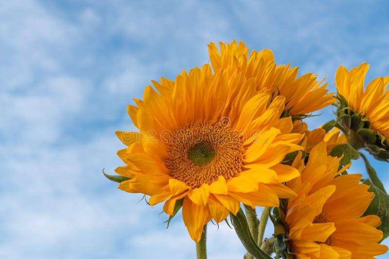 De gele Zonnebloemen sluiten omhoog met Mooie Bewolkte Hemelachtergrond stock fotografie