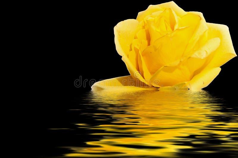 De gele zwarte van de rozewaterbezinning stock foto's