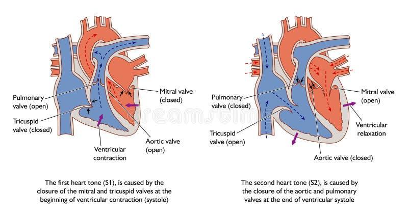 De geluiden van het hart stock illustratie