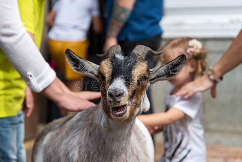 De gelukkige geit in een contactdierentuin wordt gestreken door mensen en kinderen stock fotografie