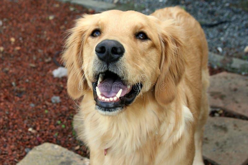 De gelukkige Gouden hond van de Retriever royalty-vrije stock afbeeldingen