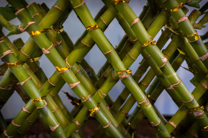 De gelukkige Installatie van het Bamboe stock afbeelding