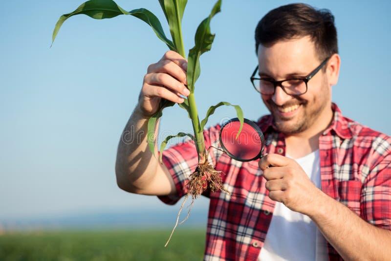 De gelukkige jonge agronoom of de landbouwer die jong graan onderzoeken plant wortel met een vergrootglas stock afbeeldingen