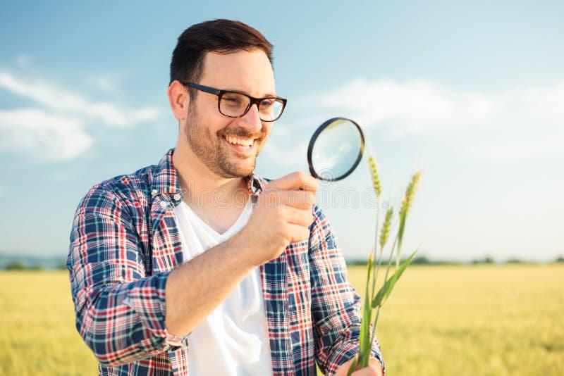 De gelukkige jonge agronoom of landbouwers het inspecteren stammen van de tarweinstallatie met een vergrootglas royalty-vrije stock afbeelding