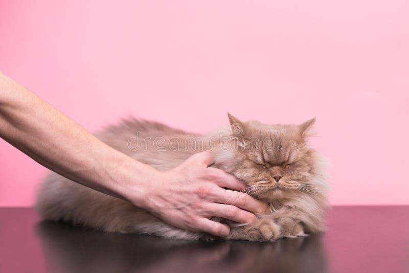 De gelukkige kat houdt van het wanneer het de handen strijkt van mensen, sloot hij zijn ogen en is tevreden met de roze achtergro royalty-vrije stock fotografie
