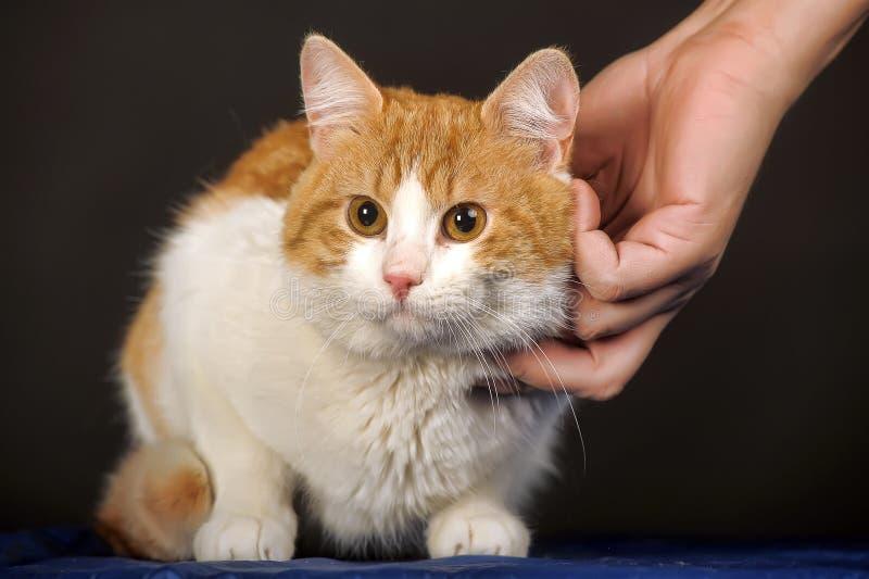 De gelukkige kat is tevreden met hand stock foto's