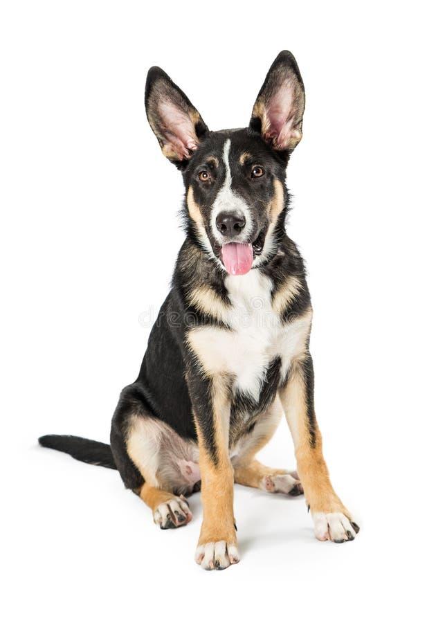 De Gelukkige Uitdrukking van herderscrossbreed young dog stock foto's