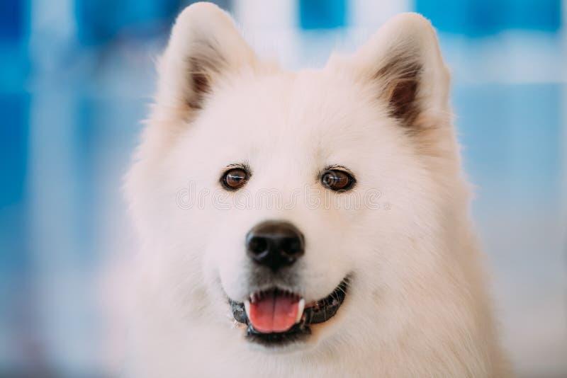 De gelukkige Witte Hond van Samoyed Bjelkier royalty-vrije stock fotografie