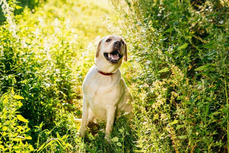 De gelukkige Witte Zitting van de Labradorhond in Gras, Park stock foto's