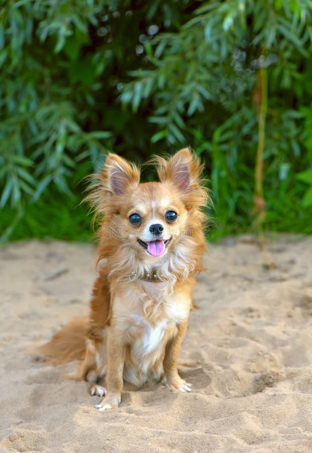 De gelukkige zitting van de chihuahuahond op strandzand stock afbeeldingen