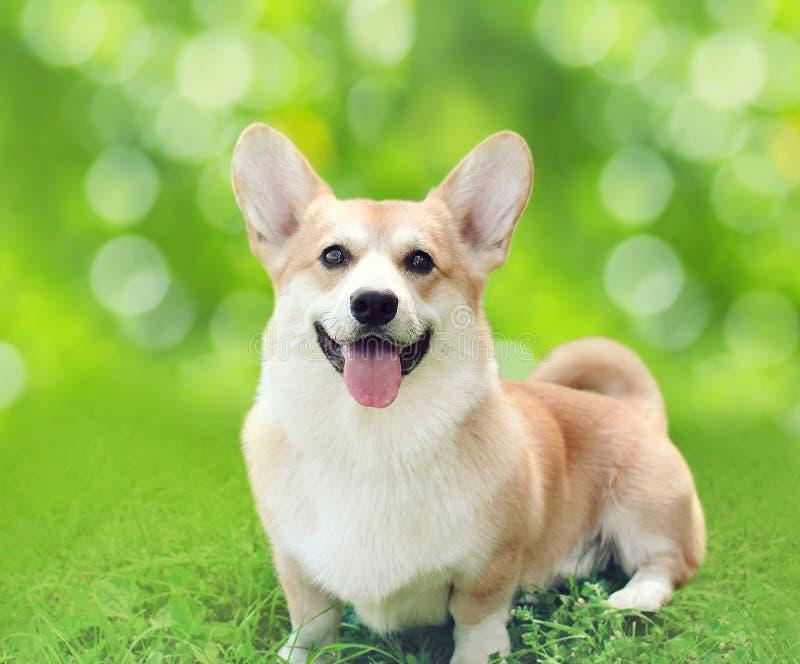 De gelukkige zitting van hond Welse Corgi Pembroke op gras in de zomer stock foto's