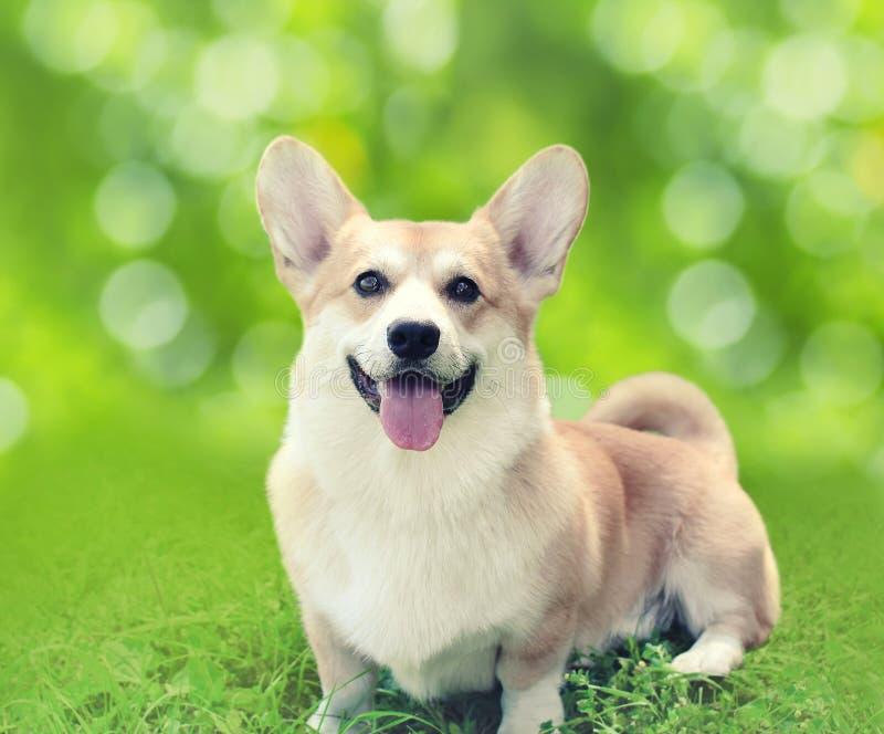 De gelukkige zitting van hond Welse Corgi Pembroke op het gras in de zomerdag royalty-vrije stock afbeelding