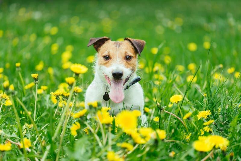 De gelukkige zitting van de huisdierenhond in de lente groen gras en gele paardebloembloemen stock afbeelding