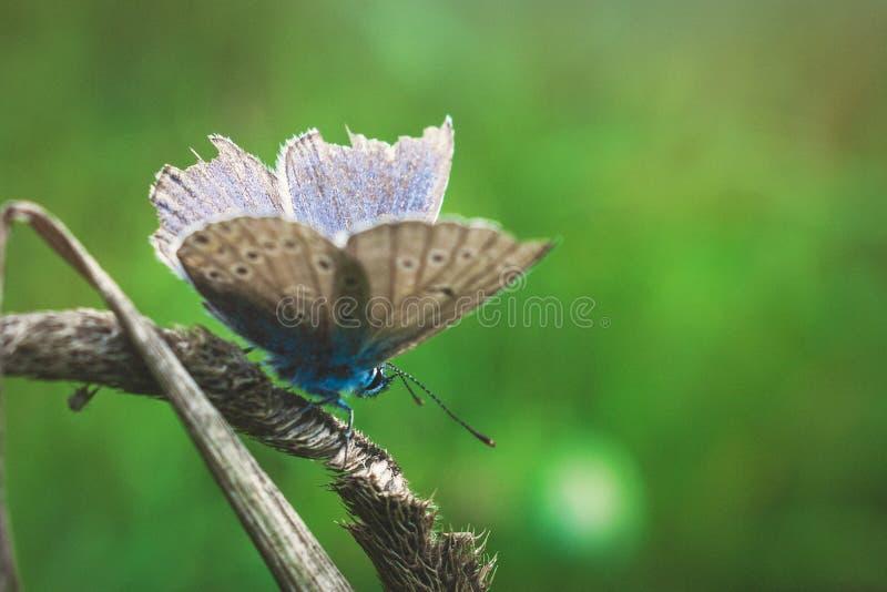 De gemeenschappelijke blauwe vlinder met beschadigde vleugel royalty-vrije stock foto