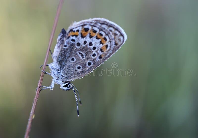 De gemeenschappelijke blauwe vlinder & x28; Polyommatus icarus& x29; royalty-vrije stock fotografie