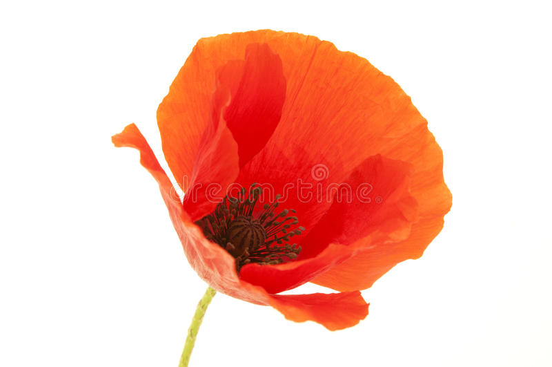 De gemeenschappelijke bloem van de Papaver stock afbeelding