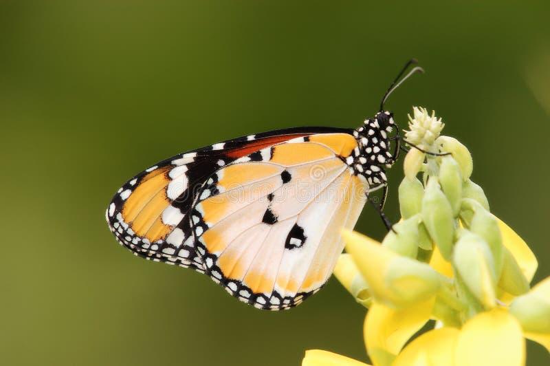 De gemeenschappelijke Duidelijke Vlinder van de Tijger stock fotografie