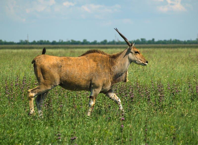 De Gemeenschappelijke elandantilope op het de lente kleurrijke gebied stock fotografie