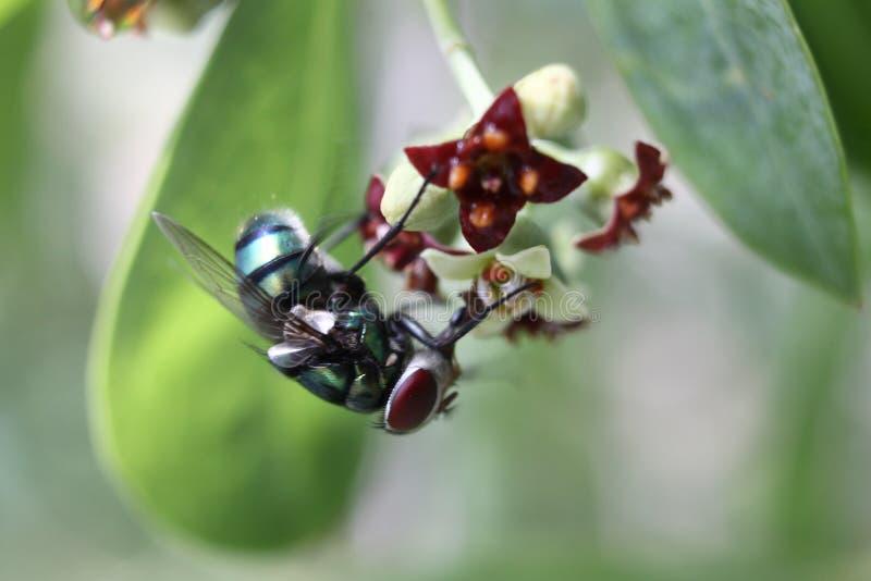 De gemeenschappelijke groene flessenvlieg of Phaenicia-sericata stock foto's