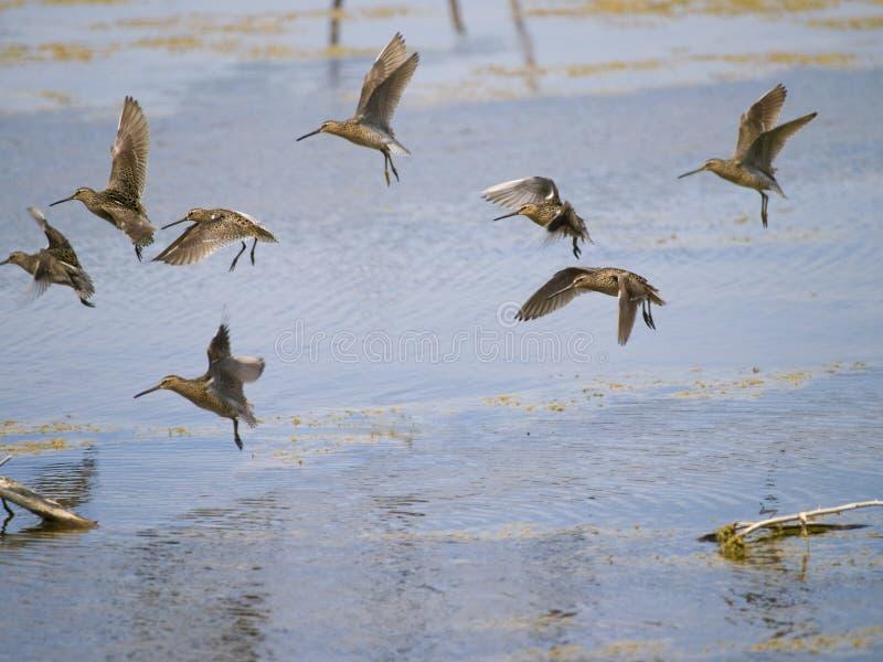 De gemeenschappelijke groep B van de watersnipvogel stock afbeelding