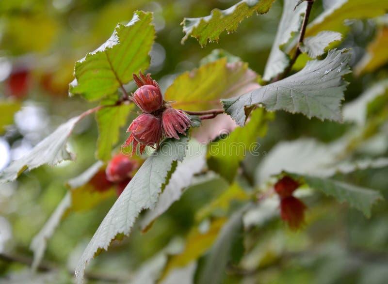 De gemeenschappelijke hazelaar, vormt donkere purpere Corylus avellana L H Karst F Purpurea, noten op een tak royalty-vrije stock afbeeldingen