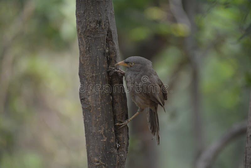 De gemeenschappelijke Indische vogel van de Wildernisbabbelkous royalty-vrije stock fotografie