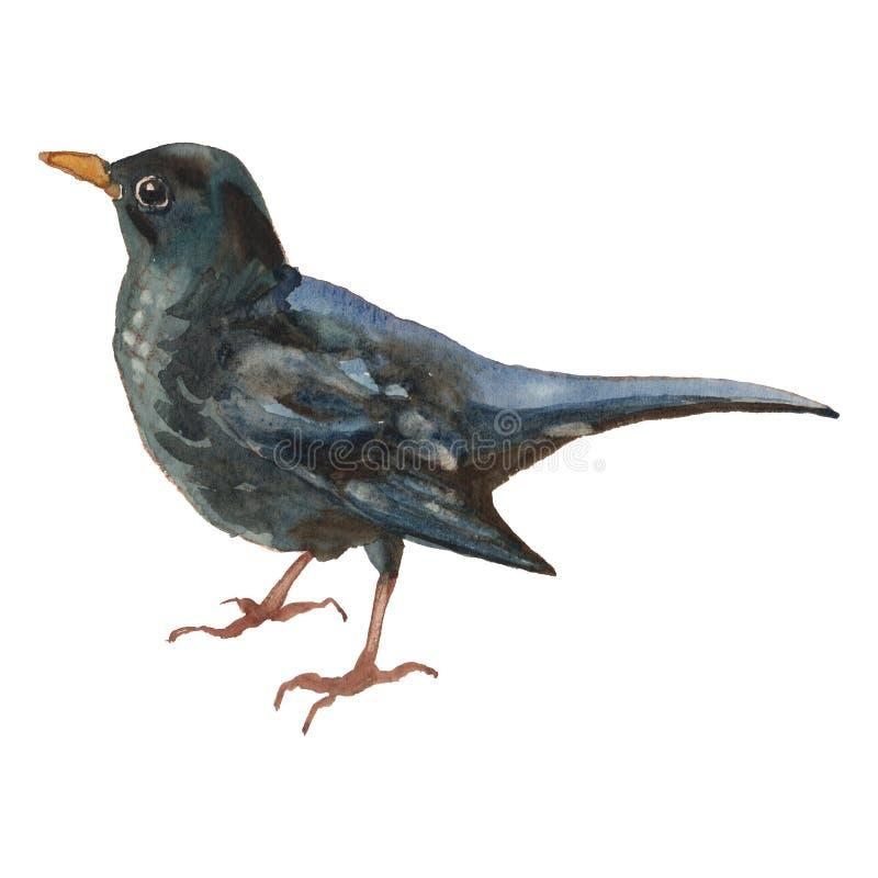 De Gemeenschappelijke merel Waterverfhand geschilderde tekening van vogel vector illustratie