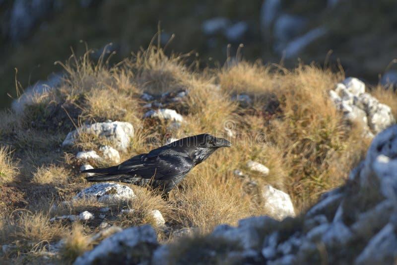 De gemeenschappelijke raaf Corvus corax royalty-vrije stock fotografie