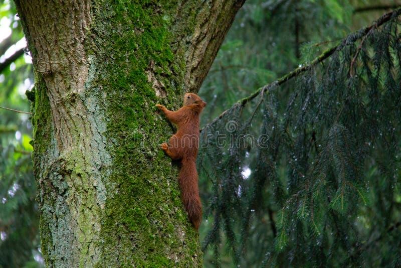 De gemeenschappelijke rode eekhoorn beklimt in een eiken boom door de boomstam royalty-vrije stock fotografie